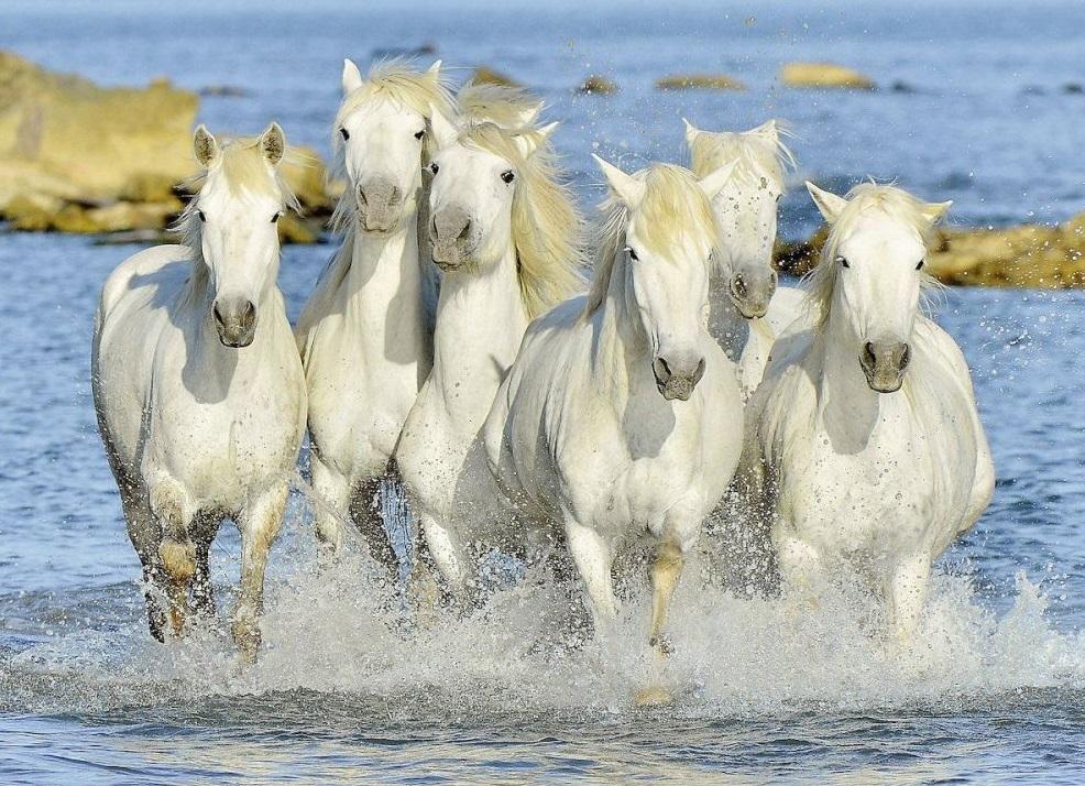 Пазл Ravensburger Рысью в прибоеПазл Рысью в прибое представлен в виде набора для сборки красивой картинки с изображением бегущих белых лошадей. Пазл состоит из 1500 элементов. Шесть резвящихся лошадок поднимают фонтаны брызг вокруг себя. У них красиво развиваются гривы на ветру. Их окружает прозрачная прохладная вода. У лошадок стройные гладкие тела и удлиненные мордочки. Они бегут быстрой рысью куда-то в неведомые дали. Картинка выглядит довольно реалистично, кажется, что холодные брызги воды попадут на лицо.Элементы пазла выполнены из качественного картона, каждая деталь обладает своей определенной формой и подходит только на свое место.Сборка пазла способствует развитию координации движений, усидчивости, наблюдательности, образного мышления и цветового восприятия. Готовое изображение можно повесить на стену и украсить интерьер любой комнаты.<br>